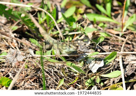 A quick lizard, or a nimble lizard, or an ordinary lizard (lat. Lacerta agilis) is a species of lizards from the family of real lizards. Royalty-Free Stock Photo #1972444835