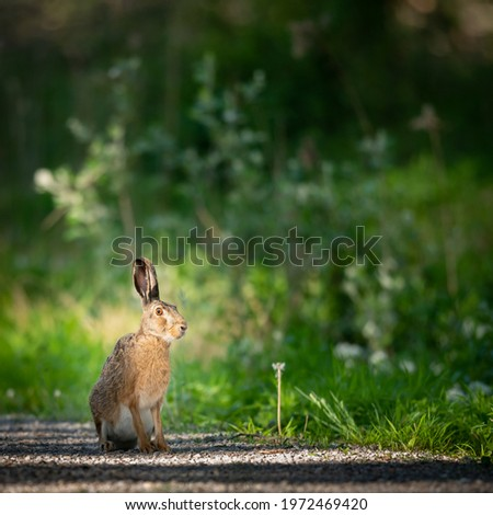 A European hare sitting on a small road in the forest, sunny day in springtime, Vienna (Austria) Royalty-Free Stock Photo #1972469420