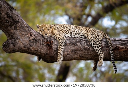 A cheetah in the branches of a tree, Cheetah in the tree in Serengeti, Tanzania