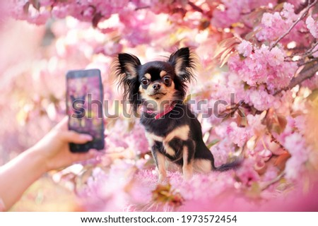 Chihuahua under blooming tree being photographed on the smartphone