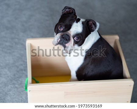 A picture of a dog sitting in the cart, Cute dog photo, Black and white dog picture of Boston terrier, Doggy pic, Boston terrier image, Picture of doggie, Dog stock image, Boston terrier photos Royalty-Free Stock Photo #1973593169