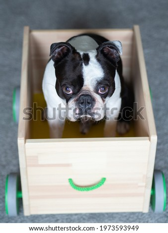 A picture of a dog sitting in the cart, Cute dog photo, Black and white dog picture of Boston terrier, Doggy pic, Boston terrier image, Picture of doggie, Dog stock image, Boston terrier photos Royalty-Free Stock Photo #1973593949