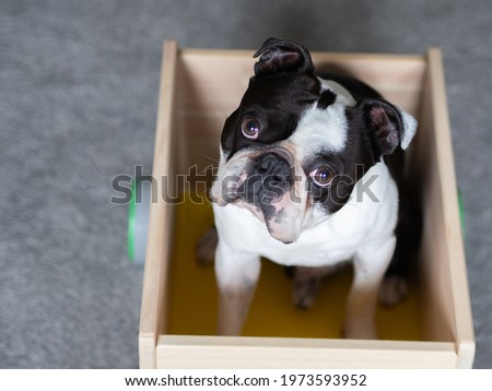 A picture of a dog sitting in the cart, Cute dog photo, Black and white dog picture of Boston terrier, Doggy pic, Boston terrier image, Picture of doggie, Dog stock image, Boston terrier photos Royalty-Free Stock Photo #1973593952