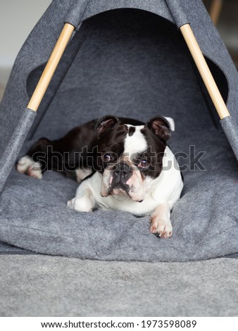 Photo of the dog in his house, Picture of Boston terrier, Pet stock image, Black and white animal, Terrier dog, Sweet doggie photo, Funny cute pet, Boston terrier photo, House dog image, Dog face