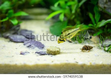 Female apistogramma cactuoides double red seen through aquarium glass, some debris on glass. Eating sinking pellet near aquatic snail. Royalty-Free Stock Photo #1974059138