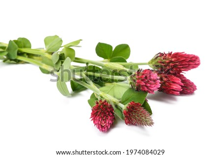 Crimson clover flowers isolated on white background