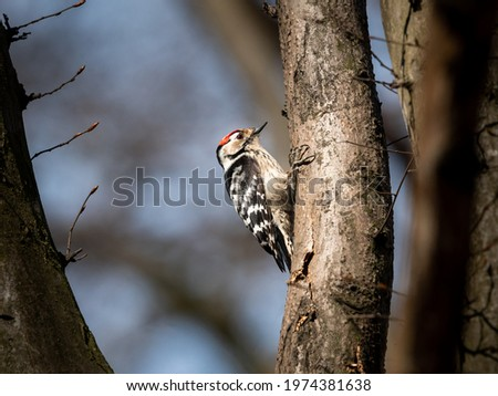 A Lesser Spotted Woodpecker sitting on a small tree, sunny day in early spring, deciduous forest in Vienna (Austria) Royalty-Free Stock Photo #1974381638