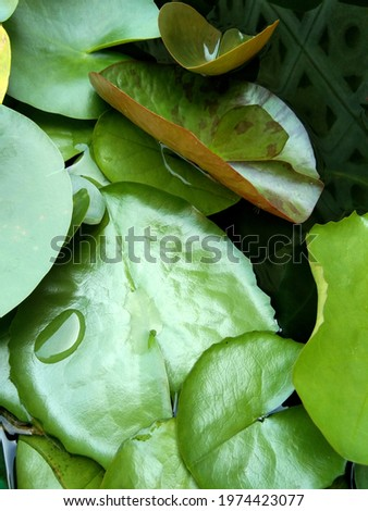 Top view picture Transparent water droplets on green lotus leaves, The green lotus leaf in the basin.