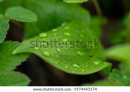 Small raindrops on green leaf in forest Royalty-Free Stock Photo #1974443174