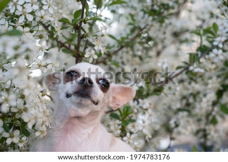A small white Chihuahua dog among the white apple blossoms in the garden during a walk in the spring. The dog looks thoughtfully up.