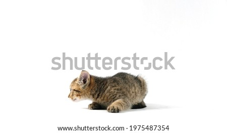 Striped baby cat shows kitten isolated on white background with negative space. Royalty-Free Stock Photo #1975487354