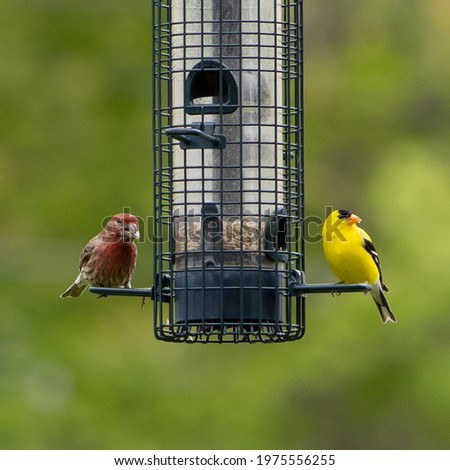 House Finch and Male Goldfinch Sharing a meal on a backyard feeder Royalty-Free Stock Photo #1975556255