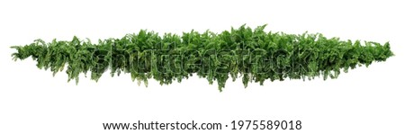 Green leaves tropical foliage plant bush of cascading Fishtail fern or forked giant sword fern (Nephrolepis spp.) the shade garden landscaping shrub plant isolated on white background, clipping path. Royalty-Free Stock Photo #1975589018