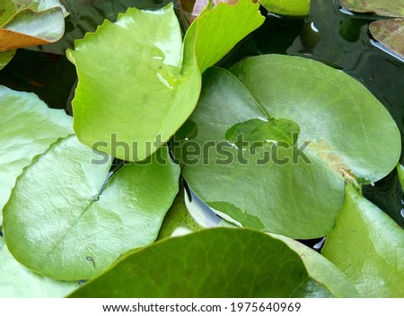 Picture of Transparent water droplets on green lotus leaves, side view green lotus leaf in the basin.