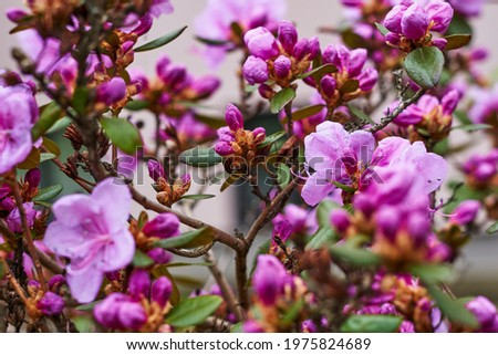 Pink Rhododendron flowers in garden. Huge Rhododendron bush with pink blossom Royalty-Free Stock Photo #1975824689