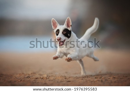 Black and white male mixed breed dog running along the sandy beach against the backdrop of a fresh summer landscape Royalty-Free Stock Photo #1976395583