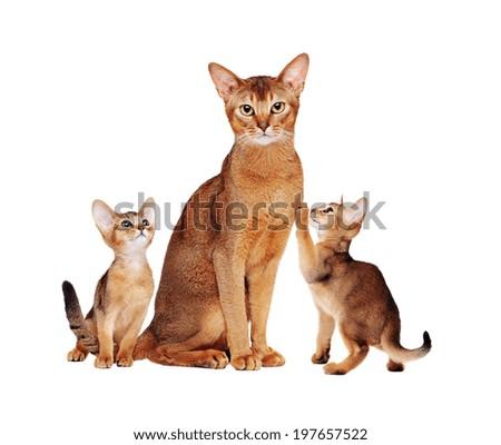 Abyssinian cats family Royalty-Free Stock Photo #197657522