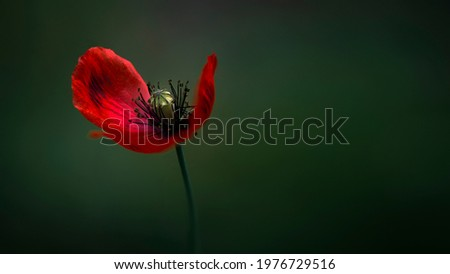 Delicate orange hue of poppy.Chic bokeh.Poppy flowers are attractive and unique.Delicate orange hue of poppy.Poppy, dark background, glare of light, stylized picture.