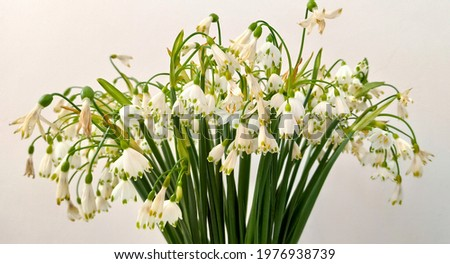 White, spring snowflake flowers beginning to wither. Bouquet of small, white, spring snowflake flowers. Spring snowflake, having white petals with green dots at their tips, beginning to wither. Royalty-Free Stock Photo #1976938739