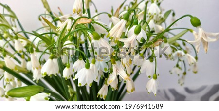 Bouquet of spring snowflake flowers beginning to wither. Bunch of leucojum vernum small, white flowers. Withering spring snowflake, having white petals with green dots at their tips.