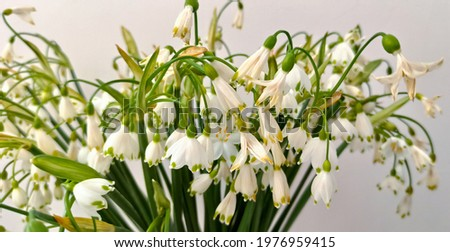 Bunch of spring snowflake flowers beginning to wither. Bouquet of small, white snowflake flowers.
