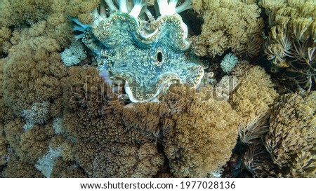 Very large beautiful light blue Giant Clam with sand colored spots with soft pulsating Xenia corals around. Picture taken during Scuba dive in warm tropical sea of Indonesia, Bali. Top view