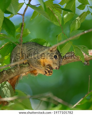 Grey Squirrel resting on tree limb eating acorn