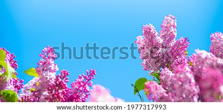 Lilac branches on a background of blue sky. Flowering bush. Blue sky. pink lilac. Summer. Copy spase. Royalty-Free Stock Photo #1977317993
