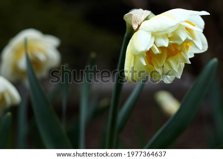 Flowers daffodils (Narcissus) yellow and white. Spring flowering bulb plants in the flowerbed. Selective focus Royalty-Free Stock Photo #1977364637