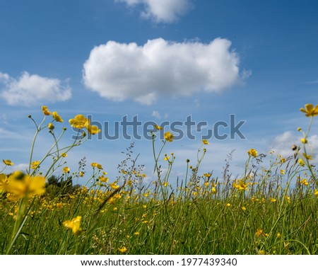 Flowering meadow with blue skies an fluffy clouds in summer time