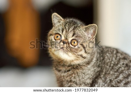 A beautiful kitten of the exotic shorthair breed lies on the brown background of the house. Color striped brown Royalty-Free Stock Photo #1977832049