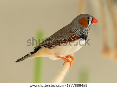 zebra finch male on rope perch Royalty-Free Stock Photo #1977888458