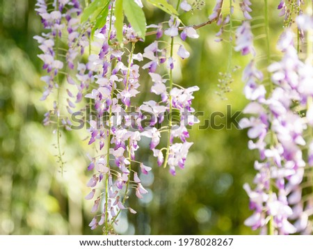 Natural background with blooming Wisteria. Woody climbing vines with purple flowers among green leaves. Flowering plant in summer sunny day. Royalty-Free Stock Photo #1978028267