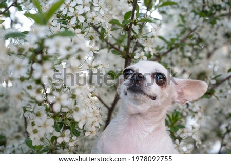 A small white Chihuahua dog stands among the white apple blossoms in the garden while walking. The dog looks up carefully. Small depth of field photo.