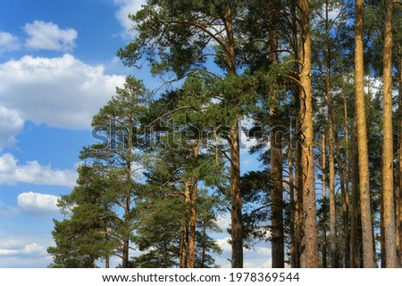 Tops of mighty pines against a blue sky with clouds. Pine forest on a sunny day. Evergreen old pines, large upper part. Russia, Middle Urals Royalty-Free Stock Photo #1978369544