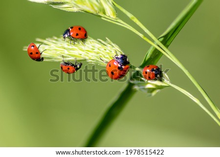 Beautiful black dotted red ladybugs climbing plant with blurred background and much copy space searching for plant louses to kill them as beneficial organism and useful animal in gardens pest control