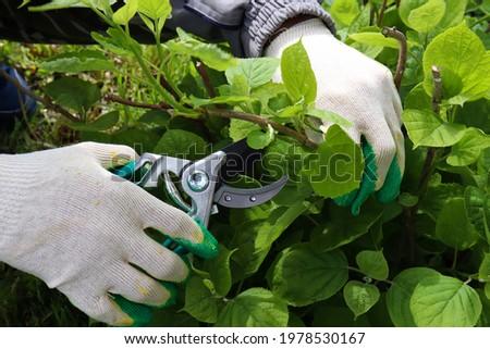 Gardener cutting a hedge hydrangea with a garden pruner, close uppruning bushes. Pruning a hydrangea bush Royalty-Free Stock Photo #1978530167