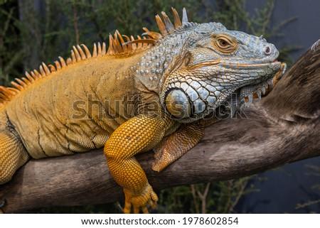Captive Green or Common Iguana Royalty-Free Stock Photo #1978602854