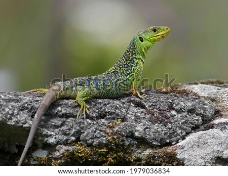 Close up portrait of a big and dominant adult male ocellated lizard or jewelled lizard (Timon lepidus). Beautiful scary green and blue exotic lizard with vibrant colors in natural environment. Spain Royalty-Free Stock Photo #1979036834