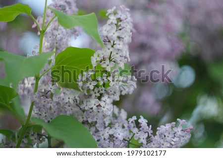 Lilac flowers close up view. Macro view of lilac flower Royalty-Free Stock Photo #1979102177