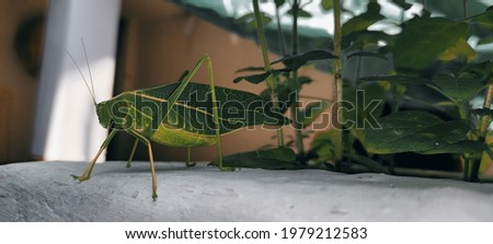 this isa picture of green grasshopper with long legs.
