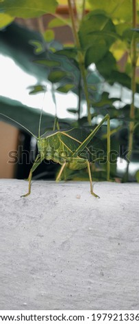 this is focused picture of green grasshopper which has two long antena and two long legs.