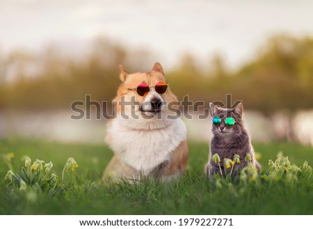 fashionable couple corgi dog and striped cat sit on a summer sunny meadow in sunglasses glasses Royalty-Free Stock Photo #1979227271