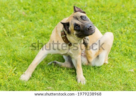 pedigree young dog Cane Corso itching scratching himself and biting fleas, ticks, lice. pet allergy Royalty-Free Stock Photo #1979238968