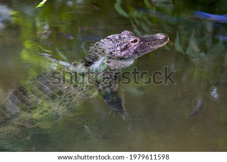 The closeup image of Chinese alligator (Alligator sinensis) in the water.  A critically endangered crocodile endemic to China.  Dark gray or black in color with a fully armored body. Royalty-Free Stock Photo #1979611598
