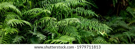 great green bush of fern in the forest.Ferns leaves green foliage. Tropical leaf. Exotic forest plant. Botany concept. jungles. Royalty-Free Stock Photo #1979711813