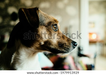 Close up of Danish Swedish farm dog, looking expectantly to the right in the picture