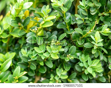 Close-up of the green leaves of the Buxus plant. Woody plant, family Buxaceae. It is used as an ornamental plant in gardens Royalty-Free Stock Photo #1980057101