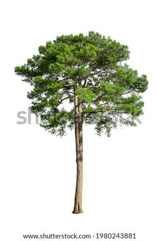 Tropical bush shrub pine tree isolated on white background. This has a clipping path Royalty-Free Stock Photo #1980243881