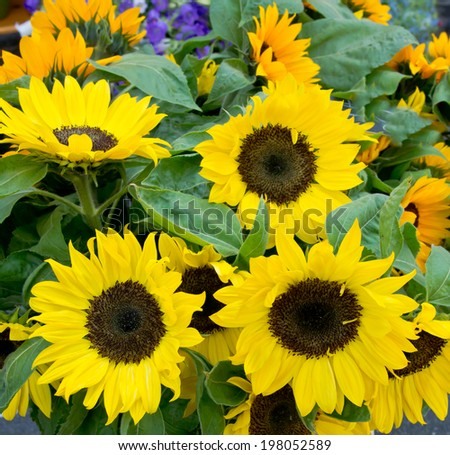 Sunflowers on the market in Old Town of Geneva. #198052589